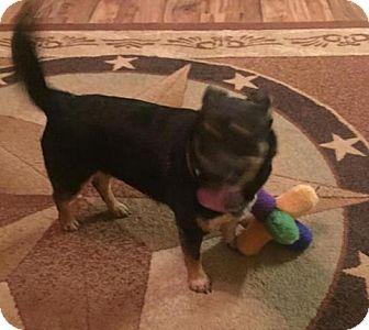 Corgi Mix Dog for adoption in Wheatland, Wyoming - Flo