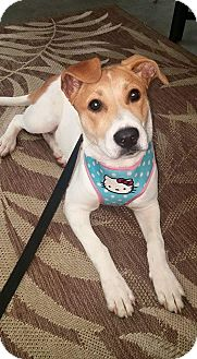 Jack Russell Terrier/Beagle Mix Dog for adoption in Hueytown, Alabama - Gabby