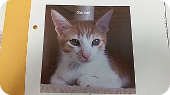 Domestic Shorthair Kitten for adoption in East Hartford, Connecticut - Sunset (in CT)