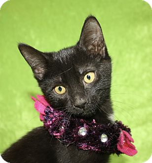 Domestic Shorthair Kitten for adoption in Jackson, Michigan - Brendy