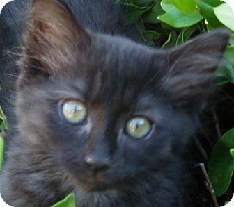 Persian Kitten for adoption in Walnut Creek, California - Melba Jean