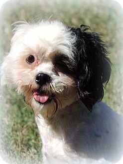 Poodle (Toy or Tea Cup)/Shih Tzu Mix Dog for adoption in Anderson, South Carolina - Molly