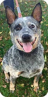 Australian Cattle Dog Mix Dog for adoption in Texico, Illinois - Bingo