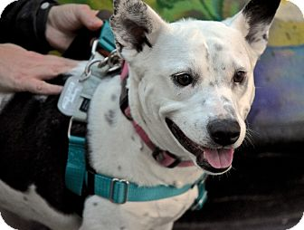Australian Cattle Dog/Terrier (Unknown Type, Medium) Mix Dog for adoption in Jersey City, New Jersey - Lorelai Gilmore