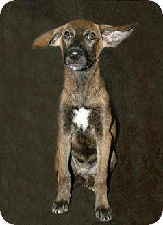 Chesapeake Bay Retriever Mix Dog for adoption in Lufkin, Texas - Fame