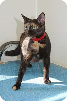 Domestic Shorthair Cat for adoption in Englewood, Florida - Magic