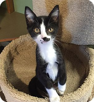 Domestic Shorthair Kitten for adoption in Tampa, Florida - Dixie