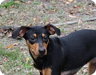 Miniature Pinscher Mix Puppy for adoption in Jesup, Georgia - Clyde