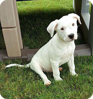 American Bulldog/Basset Hound Mix Puppy for adoption in Plano, Texas - Hoss