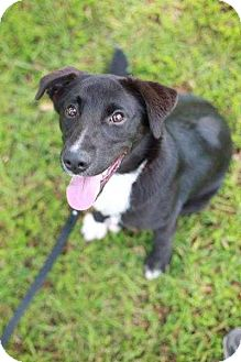 Border Collie Mix Dog for adoption in Barnesville, Georgia - Callie