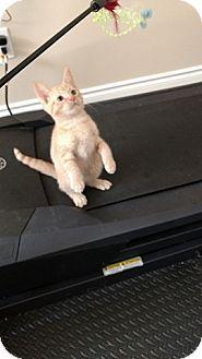 Domestic Shorthair Kitten for adoption in Woodstock, Ontario - Sunny