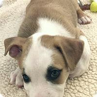 Adopt A Pet :: Zorro 🍁 DOB 5/18/17! - Allentown, PA