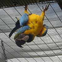 Macaw for adoption in Elizabeth, Colorado - Nancy