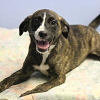 Adopt A Pet :: Stripe - Phoenix, AZ