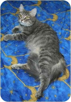 Domestic Longhair Cat for adoption in Montreal, Quebec - Melany