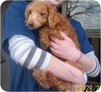 Miniature Poodle Dog for adoption in Rossford, Ohio - JERZY