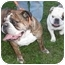 Photo 4 - English Bulldog Dog for adoption in Decatur, Illinois - Cassidy