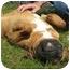 Photo 4 - Boxer Dog for adoption in Navarre, Florida - Yubaba
