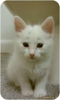 Domestic Mediumhair Kitten for adoption in Morgan Hill, California - Spot