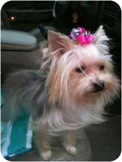 Yorkie, Yorkshire Terrier Mix Dog for adoption in Long Beach, Mississippi - Maya