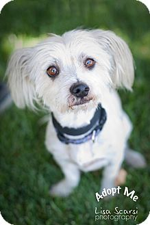 maltese rat terrier mix murphy adopted dog tustin ca maltese rat terrier mix 120