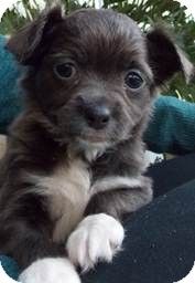 Chihuahua/Lhasa Apso Mix Puppy for adoption in San Diego, California - Tandy