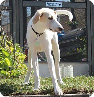 Hound (Unknown Type)/Whippet Mix Puppy for adoption in Largo, Florida - RIO