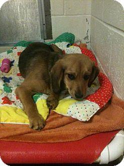 Beagle Mix Puppy for adoption in Freeport, Maine - Golder Graham