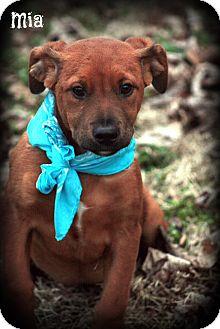 Golden Retriever/Boxer Mix Puppy for adoption in Brattleboro, Vermont - MIA
