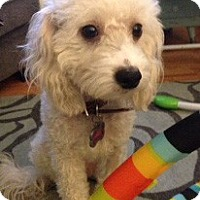 Adopt A Pet :: Abbey - Ft. Bragg, CA