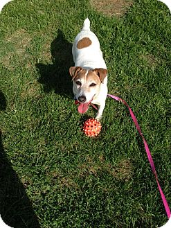 Jack Russell Terrier Dog for adoption in Peterborough, Ontario - Queenie