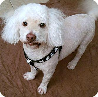 Bichon Frise/Poodle (Miniature) Mix Dog for adoption in Phoenix, Arizona - Max Goof