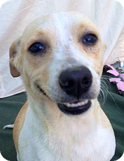Dachshund/Terrier (Unknown Type, Small) Mix Dog for adoption in Irvine, California - PENELOPE