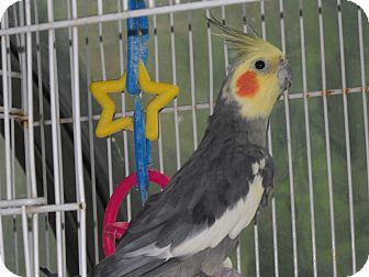 Cockatiel for adoption in East Hartland, Connecticut - Cockatiel Joe