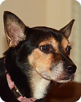 Chihuahua Mix Dog for adoption in Pompano Beach, Florida - Heidi