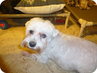 Maltese Mix Dog for adoption in Glastonbury, Connecticut - Buster