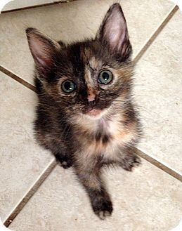 Domestic Shorthair Kitten for adoption in Tampa, Florida - Callie