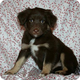 Australian Shepherd Mix Puppy for adoption in Green Cove Springs, Florida - T.J.