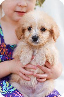Maltese/Yorkie, Yorkshire Terrier Mix Puppy for adoption in Auburn, California - Winnie The Pooh