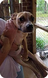 American Staffordshire Terrier/Beagle Mix Dog for adoption in Middletown, Delaware - Malea