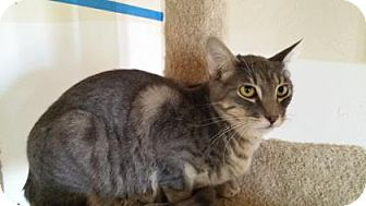 Domestic Shorthair Kitten for adoption in Tucson, Arizona - Gibbs