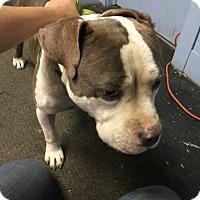 Adopt A Pet :: Phlip - East McKeesport, PA