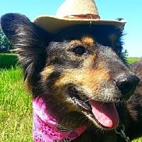 Sheltie, Shetland Sheepdog Mix Dog for adoption in Huntington, New York - Shyla - N