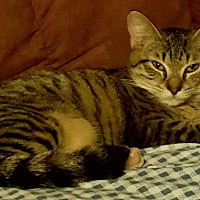 American Shorthair Kitten for adoption in Pensacola, Florida - Billie Jean