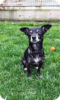 Terrier (Unknown Type, Small) Mix Dog for adoption in Concord, California - Pete