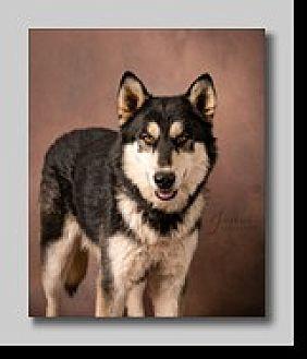 Siberian Husky/German Shepherd Dog Mix Dog for adoption in Cedar Crest, New Mexico - Tommy