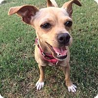 Adopt A Pet :: Little Bell - Redondo Beach, CA