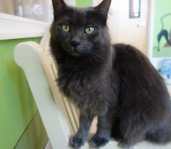 Domestic Longhair/Domestic Shorthair Mix Cat for adoption in Westampton, New Jersey - Maude