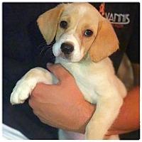 Adopt A Pet :: Katniss - Royal Palm Beach, FL