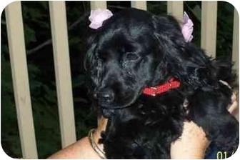 Cocker Spaniel Mix Dog for adoption in Charlotte, North Carolina - Molly